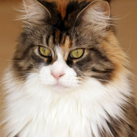 Maine Coon Cat Breed Info