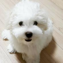 Bichon Frise Dog Breed Info