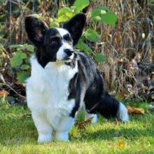 Cardigan Welsh Corgi Dog Breed Info